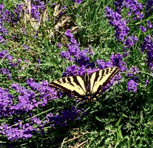a visiting Tiger Swallowtail on the lavender. She was really huge and flew very slowly around the yard