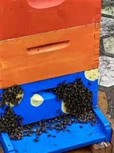 """the blue hive """"bearding"""""""