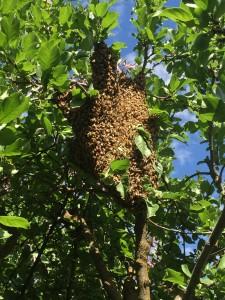 Swarm in the neighbors plum tree