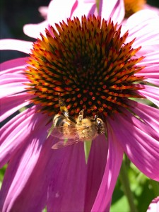 one of my girls working the echinacea