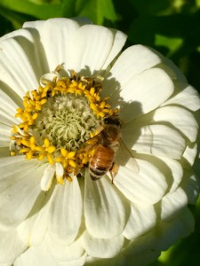 a girl working the pollen on the zinnias. You can see the big pollen bag on her back right leg