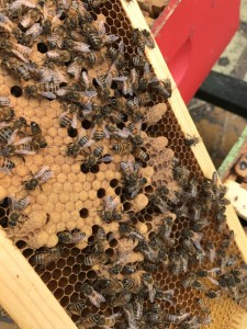 Yellow hive, flip side of the frame. Lots of queen cells built on this one