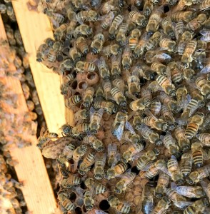 Blue Hive. Here are a couple of queen cells and in the middle are two queen cups being formed with fat larvae. You can see a few fat, bug-eyed drones on this frame
